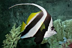 Pennant coralfish - Image: Pennant coralfish melb aquarium edit 2