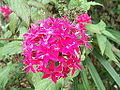 Pentas lanceolata-csi church-yercaud-salem-India.jpg