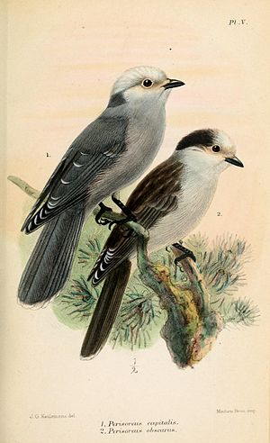 Grey jay - Subspecies P. c. capitalis (left) and P. c. obscurus (right); illustration by Keulemans, 1877