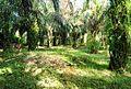 Perkebunan kelapa sawit milik rakyat (58).JPG