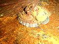 Perlemoen at the wreck of SAS Pietermaritzburg P7260724.JPG