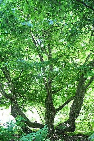 Hortus Botanicus (Amsterdam) - Image: Persian iron wood tree Parottia Persica photo by Pejman Akbarzadeh Persian Dutch Network