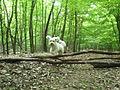 Pes stromový počas lovu koristi.JPG