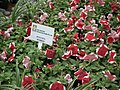 Petunia Hybrid from Lalbagh flower show Aug 2013 7880.JPG