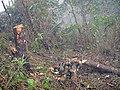 Phá rừng01.JPG