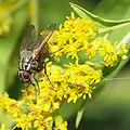 Phaonia angelicae fly on goldenrod (9785564441).jpg