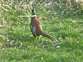 Pheasant in my garden - geograph.org.uk - 1659530.jpg
