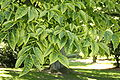 Phellodendron amurense JPG1f.jpg