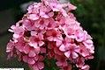 Phlox paniculata Pink Flame 1zz.jpg