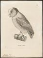 Phodilus badius - 1700-1880 - Print - Iconographia Zoologica - Special Collections University of Amsterdam - UBA01 IZ18400245.tif