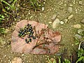 Phoebe cooperiana Fruit (1).jpg