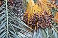 Phoenix canariensis canary Island Date Palm ფინიკის პალმა (2).JPG