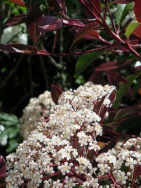 bouquet de fleurs de photinia