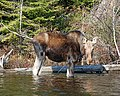 Photo of the Week - Moose (RI) (7060640663).jpg