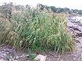 Phragmites australis 04.jpg