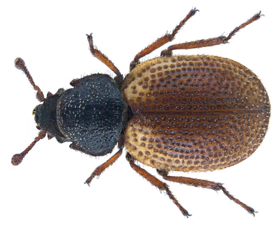 Phycosecis litoralis Pascoe, 1875