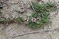 Phyla nodiflora kz03.jpg