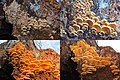 Phyllotopsis nidulans (Orange Mock Oyster or Orange Oyster, D= Orangeseitling, F= Pleurote en nid, Syn. Pleurote nid d'oiseau, NL= Oranje oesterzwam) pink spores and unknown wooddecaying, at 2 and 12 December 2014 (top - panoramio.jpg