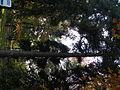 Picea abies (1111) 06.JPG