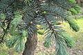 "Picea pungens ""Argentea"" - City Park in Lučenec (4).jpg"