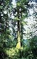 Picea sitchensis BLM.jpg