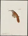 Picolaptes leucogaster - 1820-1860 - Print - Iconographia Zoologica - Special Collections University of Amsterdam - UBA01 IZ19200269.tif