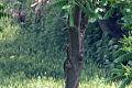 Picus canus in Ailanthus altissima.jpg