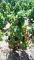 Pieds de vignes à Chénas.jpg