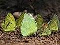 Pieridae puddling from Savandurga IMG 9846.jpg