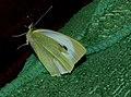 Pieris brassicae butterfly.jpg