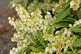 Pieris japonica Sarabonde 0zz.jpg