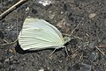 Pieris rapae 56944196.jpg