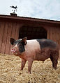 Pig at Maryland animal sanctuary.jpg