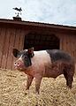 Pig at Maryland animal sanctuary.jpg