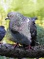 Pigeon sauvage (Feral pigeon) (3).jpg