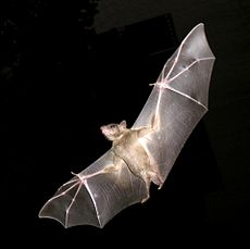 PikiWiki Israel 11327 Wildlife and Plants of Israel-Bat-003.jpg