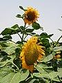 PikiWiki Israel 54013 sunflower.jpg