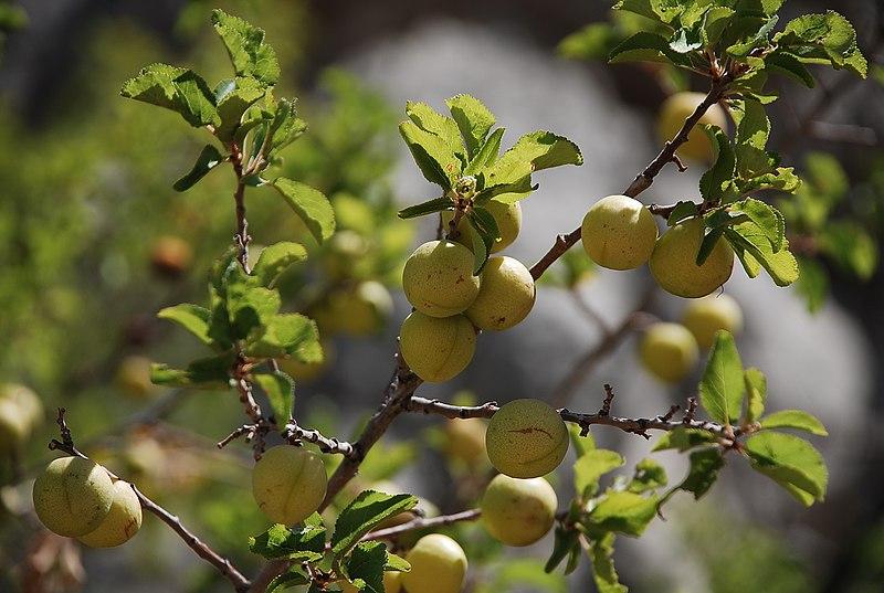 פרי שזיף הדב