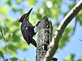 Pileated Woodpecker (34700271796).jpg