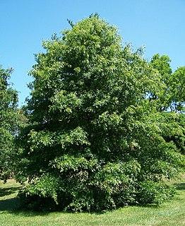 <i>Quercus palustris</i> species of plant