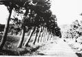 Pine trees in Hikone.png