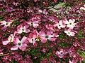 Pink-dogwood - West Virginia - ForestWander.jpg