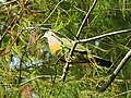 Pink-necked Green-Pigeon.jpg