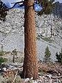 Pinus balfouriana austrina 6.jpg