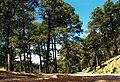 Pinus hartwegii forest.jpg