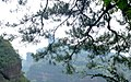 Pinus massoniana, Danxiashan Suodao, Guangdong, China 1.jpg