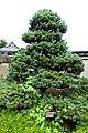 Pinus parviflora - Morioka, Iwate - DSC04180.jpg