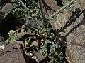 Pinyon gilia, Gilia ophthalmoides (45920974625).jpg