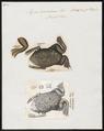 Pipa americana - 1700-1880 - Print - Iconographia Zoologica - Special Collections University of Amsterdam - UBA01 IZ11500269.tif
