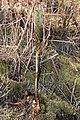 Piperia elegans 3906.JPG